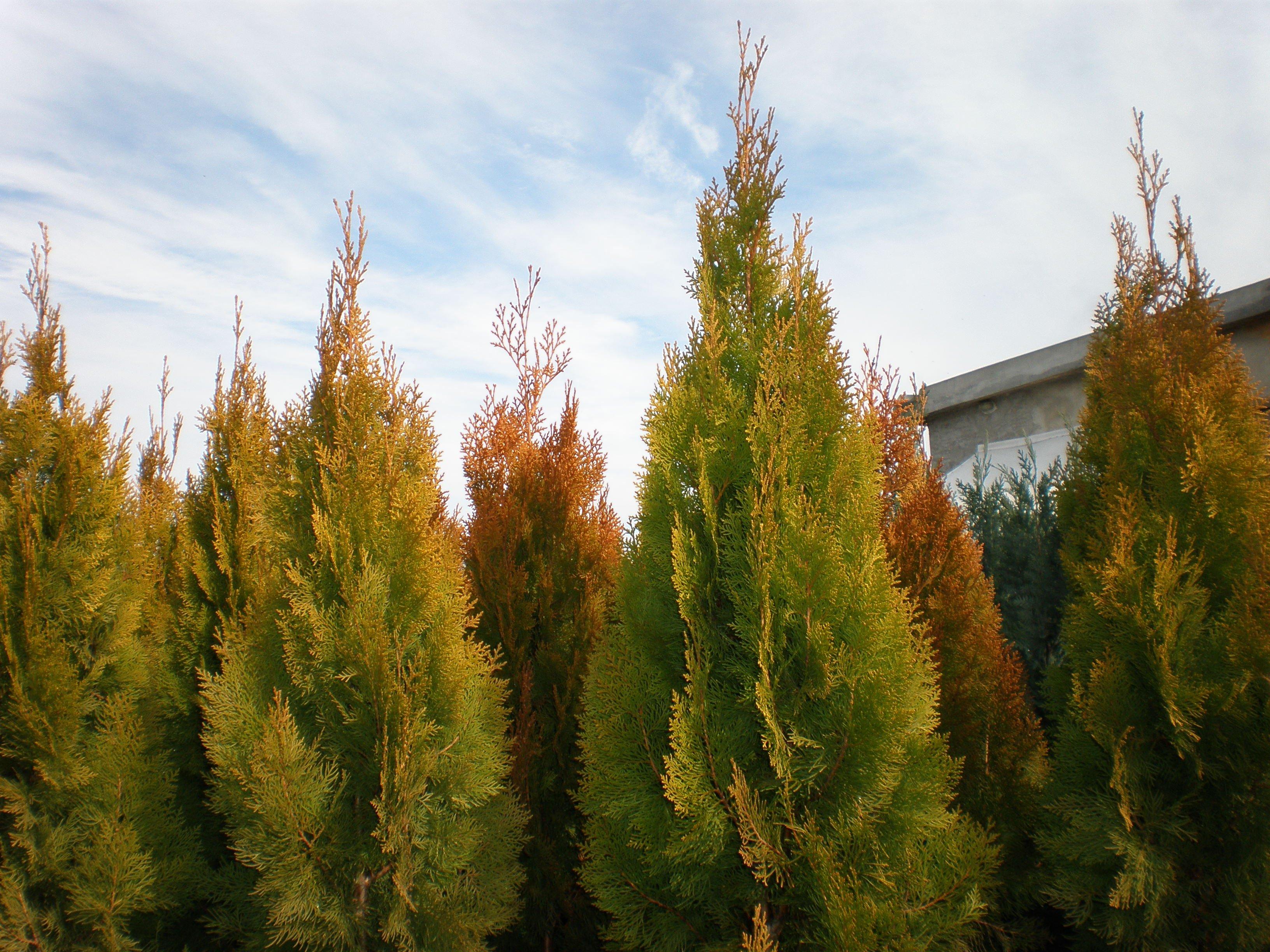 Източната туя Ауреа Пирамидалис добива оранжев оттенък през есента и зимата