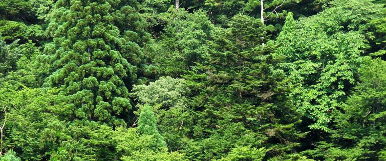 Habitat Of Abies Firma And Cryptomeria Japonica