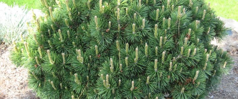 Pinus Mugho